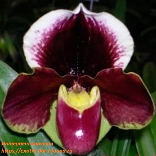 Paph.-Red-Meatloaf--sib.jpg