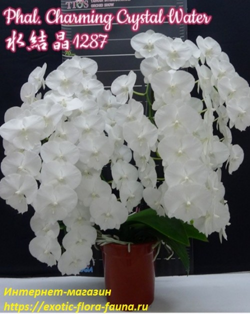 Phal.-Charming-Crystal-Water.jpg