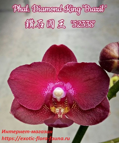 Phal.-Diamond-King-Brazil.jpg