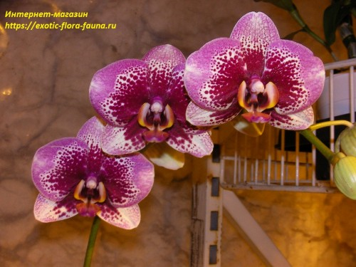 Phal.-Elegant-Dream-Diamond-Brazil.jpg