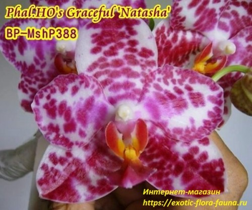 Phal.-Hos-Graceful-Natasha.jpg