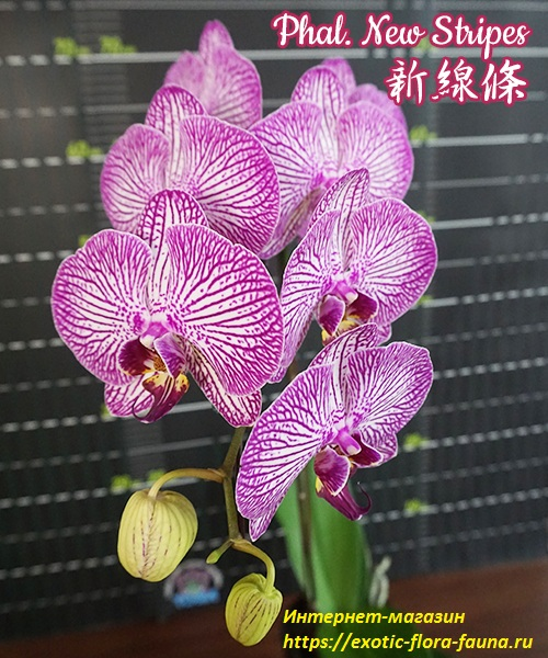 Phal.-New-Stripes.jpg