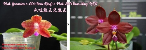 Phal.-javanica--LDs-Bear-King--LDs-Bear-King-RK6.jpg