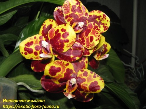 Phal.(Tying Shin Wonder Haur Jhih Prince)=Phal.GW Green World