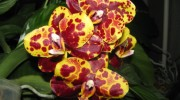 Phal.Tying-Shin-Wonder-Haur-Jhih-PrincePhal.GW-Green-World